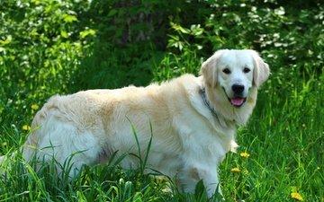 собака, травка, одуванчики, язык, золотистый ретривер, голден ретривер