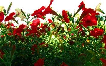 свет, цветы, красные, петуния
