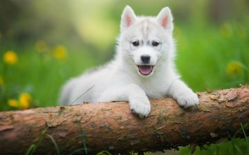 grass, tree, greens, puppy, husky, language, log, lawn