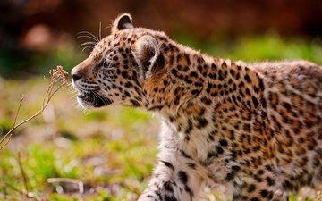 grass, leopard, walk