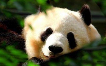 трава, мордочка, листва, панда, сон, спит