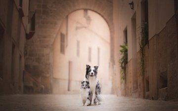улица, собаки, австралийская овчарка, бордер-колли, шелти, шетландская овчарка
