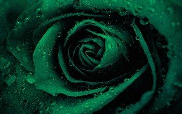 вода, цветок, роса, капли, роза, лепестки, бутон