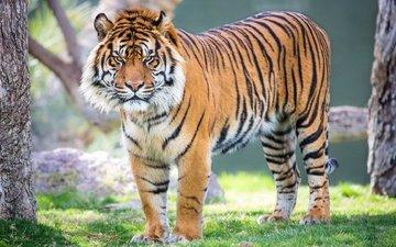tiger, look