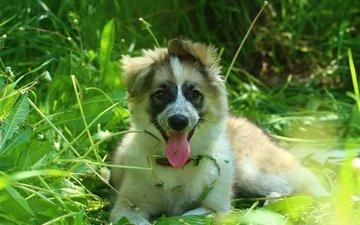 зелень, щенок, травка, язык, лайка