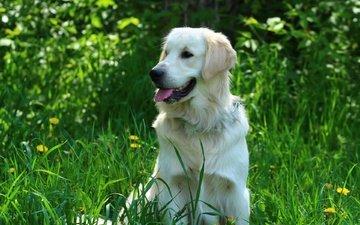 зелень, собака, травка, язык, золотистый ретривер, голден ретривер