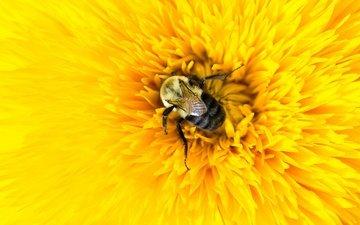 yellow, macro, insect, flower, petals, bee, bumblebee
