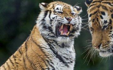 tiger, teeth