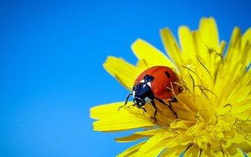 небо, жук, макро, насекомое, фон, цветок, божья коровка, одуванчик