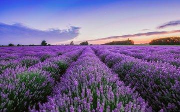 nature, landscape, field, lavender