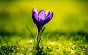 цветок, весна, крокус