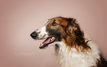 look, dog, each, greyhound, russian borzoi, russian greyhound