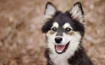 eyes, look, dog, puppy, finnish lapphund