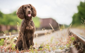 grass, railroad, dog, language, spaniel, irish water spaniel