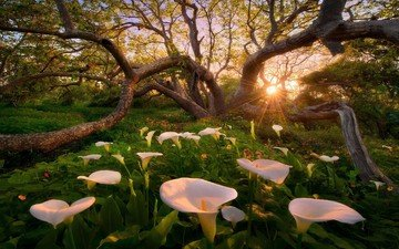 flowers, trees, sunset, glade, calla lilies, calla