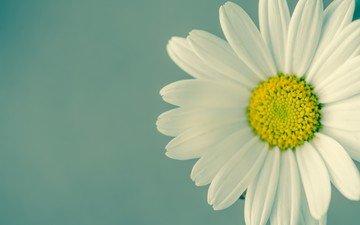 цветок, лепестки, ромашка