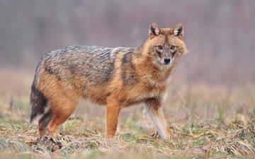 wolf, jackal, uros poteko