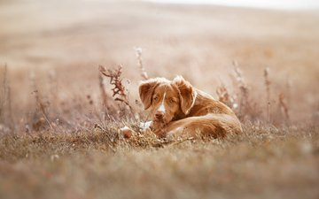 dog, puppy, retriever, anna averyanova