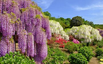 the sky, flowers, trees, park, the bushes, plant, wisteria