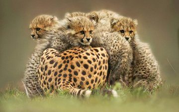 animals, wild cats, kittens, cheetah