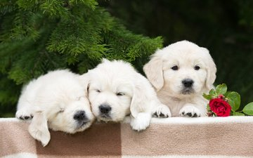 flower, rose, spruce, puppies, dogs, golden retriever, trinity