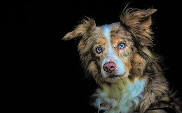 eyes, look, dog, black background, australian shepherd