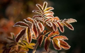 branch, leaves, frost, autumn