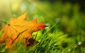 grass, nature, macro, autumn, sheet, maple leaf