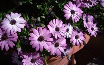 flowers, petals, pot, osteospermum