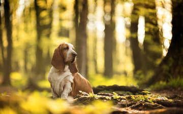 nature, look, dog, the basset hound