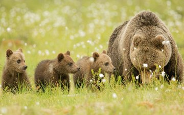 grass, animals, bear, meadow, bears, brown bears