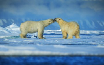 snow, winter, animals, pair, bears, polar bear