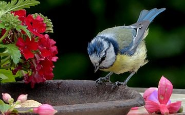 flowers, bird, tit, blue tit
