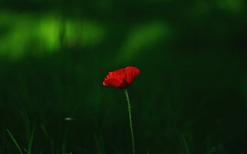 grass, macro, flower, red, mac