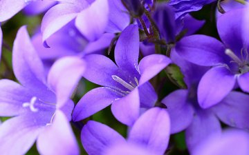 flowers, nature, bells, purple