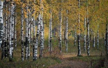 деревья, природа, лес, осень, береза, роща