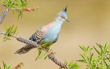 ветка, птица, австралия, голубь, хохолок, ветвка, хохлатый бронзовокрылый голубь