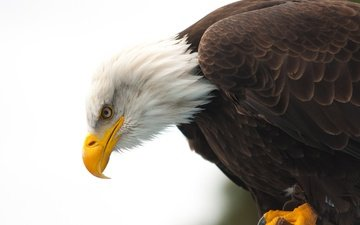 animals, eagle, bird, beak, bald eagle