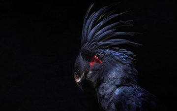 bird, black background, feathers, parrot, cockatoo, crest