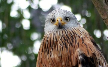 look, predator, bird, beak, feathers, kite, red kite