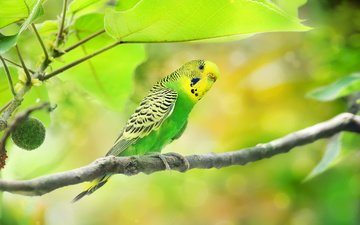 branch, tree, leaves, animals, bird, parrot, bokeh, wavy parrot