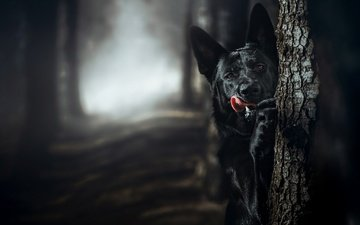 tree, muzzle, dog, black, language, german shepherd