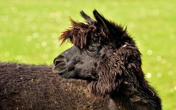 profile, animal, black, head, lama