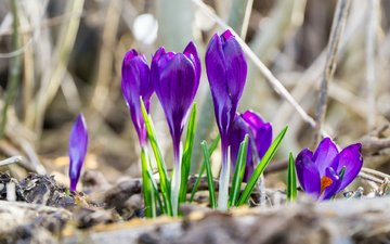 flowers, spring, crocuses