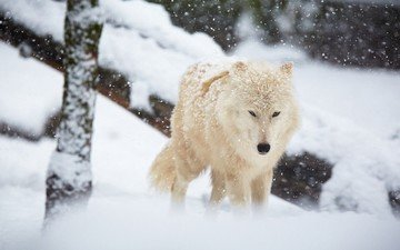 winter, white, predator, wolf