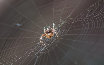 macro, insect, spider, web