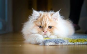 cat, kitty, persian