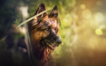 dog, german shepherd, the longitudinal axis of the