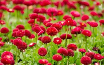 flowers, daisy