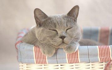 кот, кошка, сон, корзина
